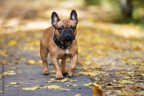 Papiers peints Bouledogue français french bulldog walking in the park in autumn