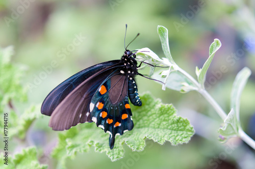 Papiers peints Arizona Pipevine Swallowtail Butterfly