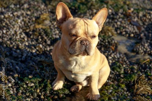 Deurstickers Franse bulldog French Bulldog Sitting on Northern California Rugged Coastline in Low Tide.