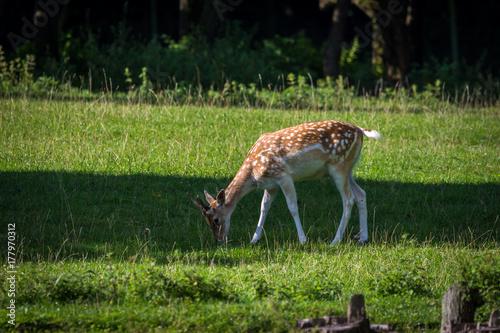 Fotobehang Hert Deer eating