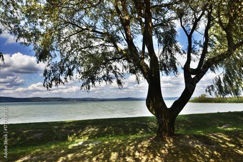 Drzewo nad Balatonem Poster