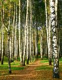 Walking path in the evening autumn birch grove