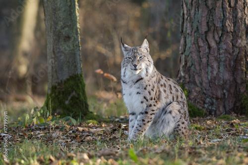 Fotobehang Zwaan Lynx assis