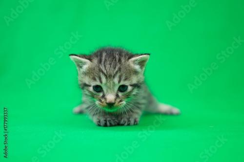 Leinwandbild Motiv 子猫のクロマキー素材(グリーンバック)