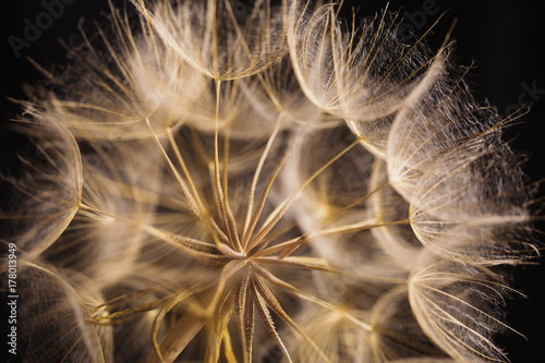 Aluminium Paardenbloemen Abstract macro photo of a dandelion on black background.