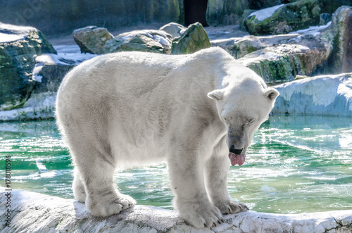 Fotobehang Ijsbeer Polar Bear Sticking Out His Tongue Against a Green Water and Boulders Background