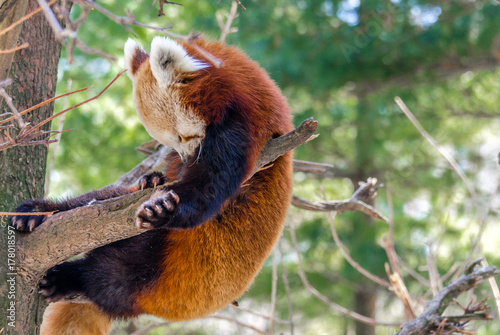 Adorable Red Panda Hanging from Tree Branches Against a Green Leafed Background Poster