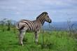 Prime zebra