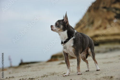 Chihuahua dog outdoor portrait Poster