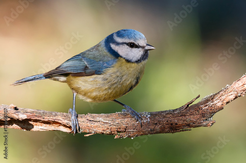 Blue Tit perched on a branch Poster