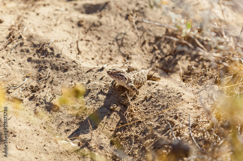 lizard living in the steppes of Kazakhstan Bearded Dragon Poster