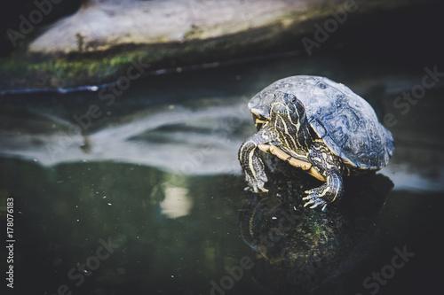 Fotobehang Schildpad Tortue de Floride