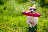 Charming Jack Russel Terrier chewing rubber toy ring while playing on green meadow in sunlight.