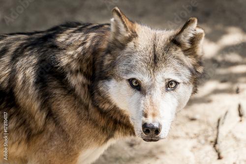 Aluminium Wolf Loup