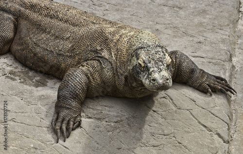 Komodo dragon up close on grey rock Poster