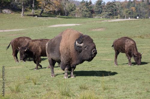 Aluminium Bison bison at omega park in montebello