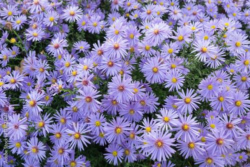 Astry kwiaty jesieni