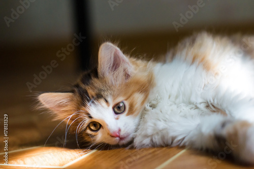 Small kitten lying on the floor and catches sunbeams Poster