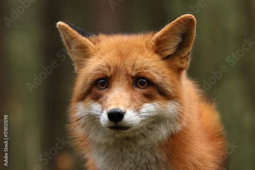 Fototapeta Fox in the autumn forest