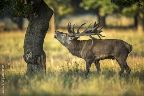deer, hunting season, deer rut плакат