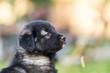 cute collie black puppies