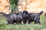 black dog . collie puppy - 178145313