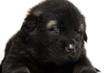 black dog puppies