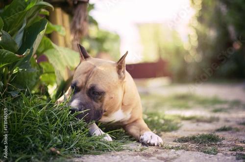 Deurstickers Franse bulldog american staffordshire terrier dog