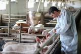 Veterinarian Doctor Examining Pigs at a Pig Farm - 178151921