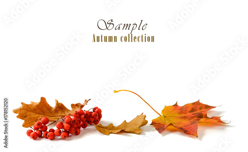 Autumn leaves with rowan bunch isolated on white background.