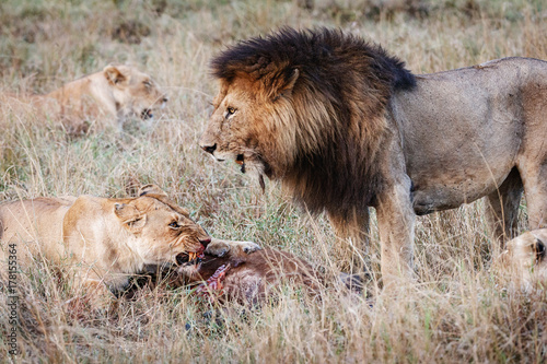 Fotobehang Lion Lioness Protecting Kill From Male Lion