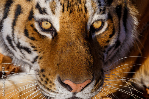 Amur tiger in the autumn forest, Primorsky Krai Poster