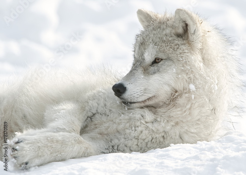 Fotobehang Wolf Arctic Wolf Pup