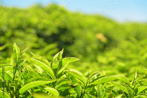 Closeup view of beautiful young bright green tea leaves