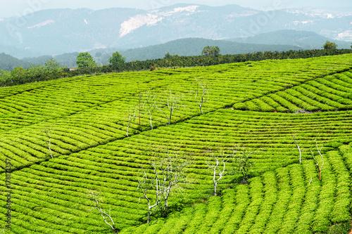 Rows of young bright green tea bushes at tea plantation