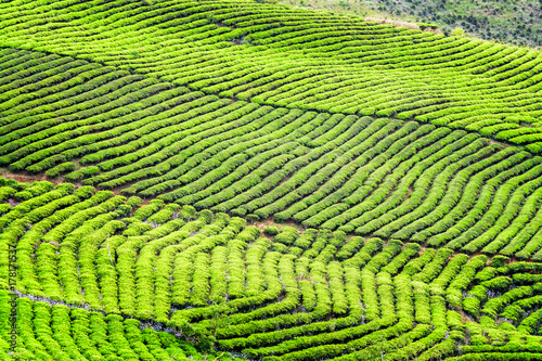 Scenic bright green rows of tea bushes at tea plantation