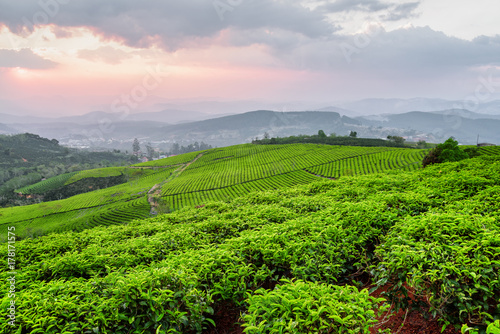Amazing view of tea plantation at sunset