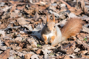 little red squirrel sitting on dry autumnal leaves in autumn park