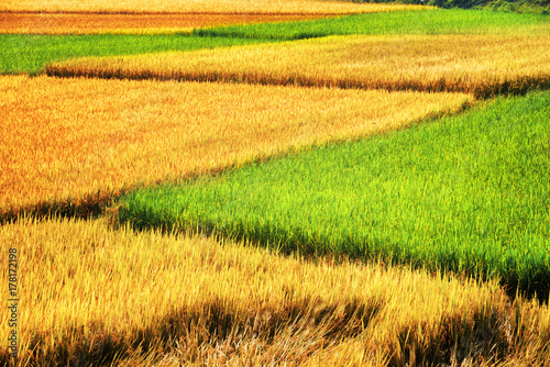 Scenic rice fields at different stages of maturity