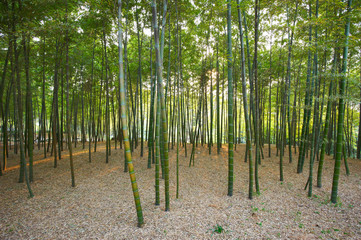 Green Bamboo Forest In China