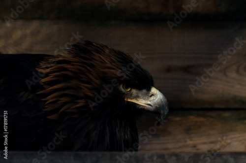 Fotobehang Eagle Restriction of freedom concept: Golden Eagle (Aquila chrysaetos) in captivity