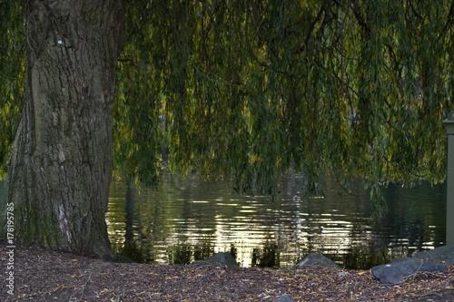 Papiers peints Rivière de la forêt A willow by the lake