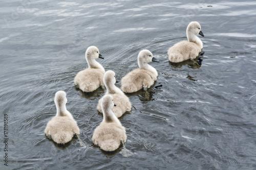 Fotobehang Zwaan Six swan chicks swimming in group in Caldecotte Lake in UK summer