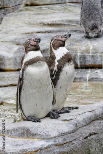 Fotobehang Pinguin Promenade au zoo...