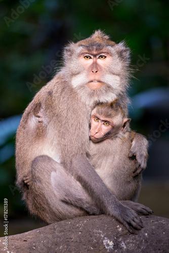 Aluminium Aap Monkey from Ubud Monkey forest - Bali, Indonesia.