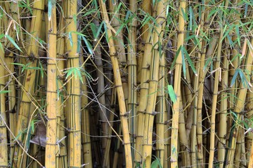 Giant bamboo in Royal Botanic Gardens Sydney in New South Wales, Australia