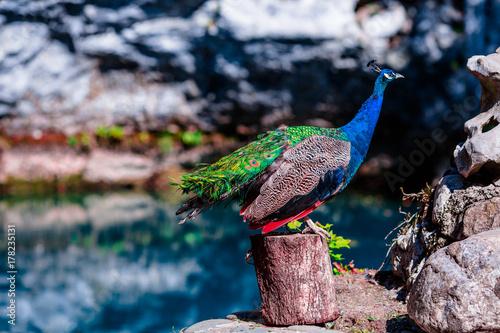 Fotobehang Pauw beautiful peacock