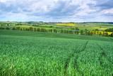 Gerstenfeld im Frühling - 178243398
