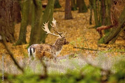 Fotobehang Hert Beautiful fallow deer male (dama dama) in autumn forest.