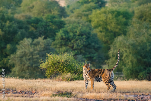 Ladali T8 Tigress  from Ranthambore Tiger Reserve, India Poster
